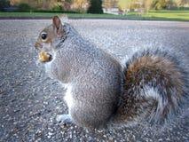 Uno scoiattolo americano grigio sta mangiando un'arachide Immagine Stock