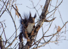 Uno scoiattolo bianchiccio Fotografia Stock Libera da Diritti