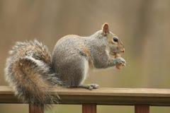 Uno scoiattolo che mangia un'arachide Fotografie Stock