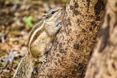 Uno scoiattolo che scala l'albero Fotografie Stock Libere da Diritti