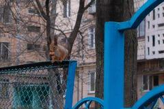 Uno scoiattolo con un grande dado nella sua bocca va in giro l'albero ed il recinto fotografia stock libera da diritti