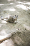 Uno scoiattolo curioso Fotografia Stock Libera da Diritti