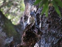 Uno scoiattolo curioso Immagine Stock