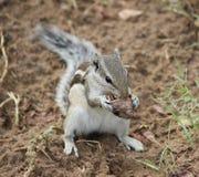Uno scoiattolo di cibo Immagine Stock Libera da Diritti