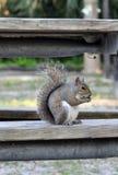 Uno scoiattolo di Grey orientale Fotografia Stock Libera da Diritti