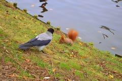 Uno scoiattolo e un corvo fotografie stock libere da diritti