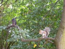 Uno scoiattolo e una colomba Fotografia Stock Libera da Diritti
