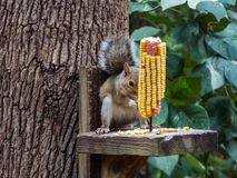 Uno scoiattolo ed il suo pranzo fotografie stock