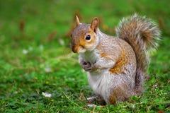 Uno scoiattolo grigio è sveglio e curioso. Fotografia Stock