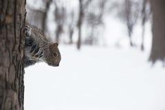 Uno scoiattolo grigio Immagini Stock