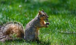 Uno scoiattolo grigio americano lanuginoso che tiene un dado, arachide nella sua bocca Fondo dell'erba verde Immagine Stock