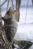 Uno scoiattolo grigio che posa dal lato di un albero nella neve Immagine Stock Libera da Diritti