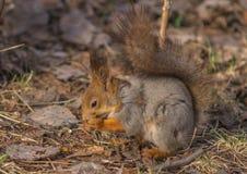 Uno scoiattolo grigio di colore rosso in un parco vicino ad un albero tiene in sue zampe e sgranocchia un dado foresta del posizi immagine stock