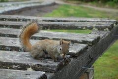 Uno scoiattolo inquisitore immagini stock libere da diritti