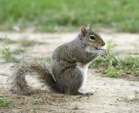 Uno scoiattolo nella sosta Fotografie Stock Libere da Diritti