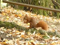 Uno scoiattolo rosso immagine stock