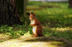 Uno scoiattolo rosso Fotografia Stock