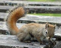 Uno scoiattolo rosso al parco nazionale di banff Immagini Stock
