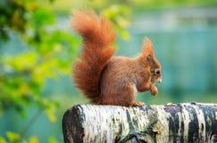 Uno scoiattolo rosso euroasiatico su una posta fotografie stock