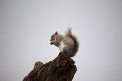 Uno scoiattolo solo si alimenta mentre guarda i turisti Fotografia Stock