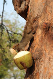 Uno scoiattolo sta mangiando una noce di cocco (Tailandia) Fotografie Stock Libere da Diritti