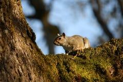 Uno scoiattolo su un albero immagini stock