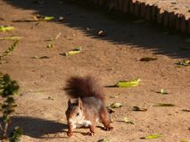 Uno scoiattolo in un giardino fotografia stock