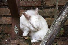 Uno scratch del coniglio Immagine Stock