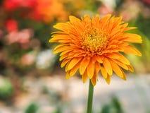 Uno sfondo naturale della margherita del crisantemo Fotografie Stock
