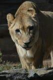 Uno sguardo da vicino al fronte di un leone femminile fotografia stock