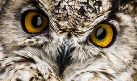 Uno sguardo da vicino del becco e degli occhi arancio di un gufo fotografia stock