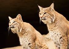 Uno sguardo di due lynces Fotografia Stock