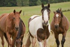 Uno sguardo di tre cavalli nella macchina fotografica Fotografie Stock