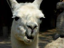 Uno sguardo divertente dei pacos della lama Immagini Stock