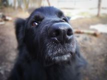 Uno sguardo fedele di un cane nero fotografie stock libere da diritti