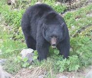 Uno sguardo fisso dell'orso Immagini Stock Libere da Diritti