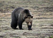 Uno sguardo fisso dell'orso grigio Fotografie Stock Libere da Diritti