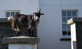Uno sguardo fisso della capra fuori fotografia stock libera da diritti