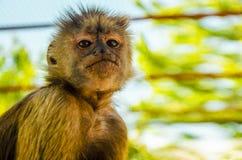 Uno sguardo più attento della scimmia, natura selvaggia fotografie stock libere da diritti