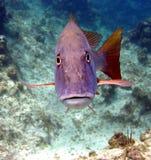 Uno snapper incontra la testa dell'operatore subacqueo di scuba sopra Fotografia Stock Libera da Diritti