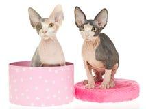 uno sphynx hairless sveglio dei 2 gattini fotografia stock
