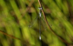 Uno sponsa maschio grazioso di Emerald Damselfly Lestes che si appollaia su una canna al bordo dell'acqua immagini stock