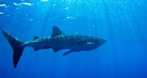 Uno squalo di balena al sole. fotografie stock