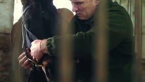 In uno stabile, il primo piano, un uomo fissa una briglia e le redini sulla museruola di un purosangue, cavallo nero prepara un c stock footage