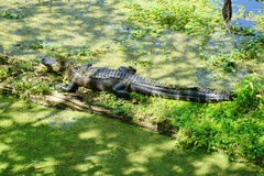 Uno stagno con l'alligatore Immagini Stock