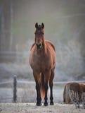 Uno stallone curioso nel suo recinto per bestiame su una mattina gelida di novembre Immagini Stock