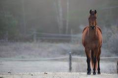 Uno stallone curioso nel suo recinto per bestiame su una mattina gelida di novembre Fotografia Stock