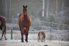 Uno stallone curioso nel suo recinto per bestiame su una mattina gelida di novembre Fotografia Stock Libera da Diritti