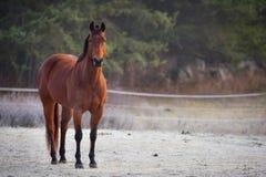 Uno stallone curioso nel suo recinto per bestiame su una mattina gelida di novembre Fotografie Stock