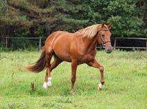 Uno stallone della castagna trotta Fotografia Stock Libera da Diritti